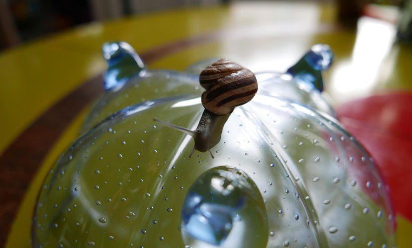 bänderschnecke auf einer Schale mit Spiralförmigen Füßen