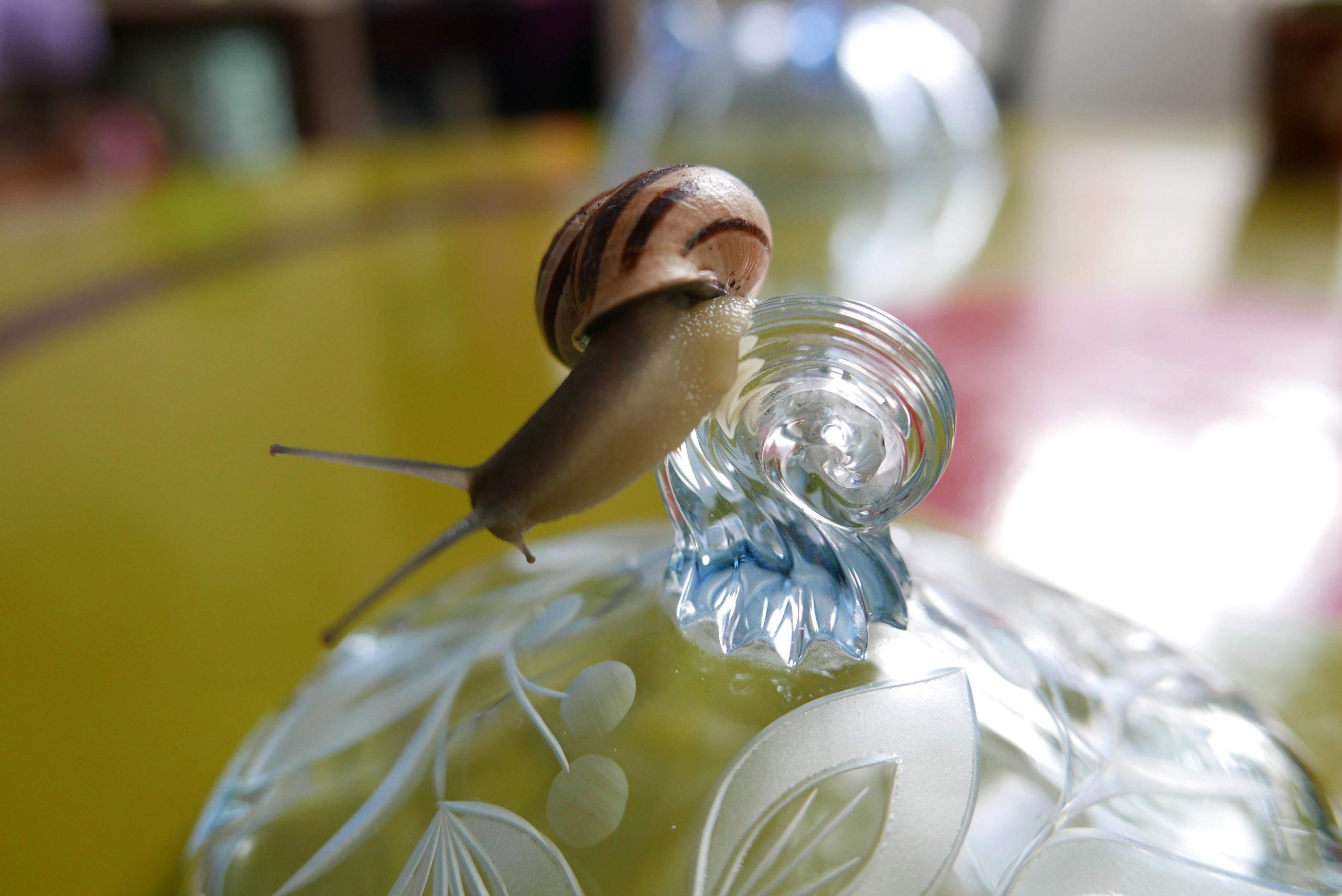 Griff eines Glasdeckels und eine slow Design Bänderschnecke
